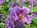 Bee on geranium (17336819505).jpg
