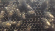 File:Bees-hive-Japan-aug2017.webm