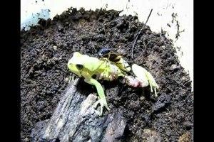 File:Beetle (Epomis circumscriptus) attacking and preying upon treefrog (Hyla savignyi).ogv