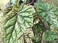 Begonia metallica-HRS-yercaud-salem-India.JPG