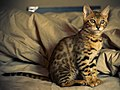 Bengal cat, 12 weeks old (2308642374) (cropped).jpg