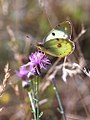 Berger's Clouded Yellow (29246710180).jpg