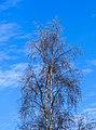 Berijpte Berk (Betula) tegen de vrieslucht. Locatie, Natuurterrein De Famberhorst 01.jpg