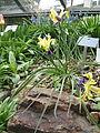 Berne Botanic garden Iris fosteriana.jpg