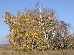 Thicket - A thicket of Silver Birch Betula pendula in Saratov Oblast, Russia.