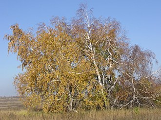 Thicket - A thicket of Silver Birch Betula pendula in Saratov Oblast, Russia