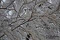 Betulla Sotto La Neve (65609619).jpeg