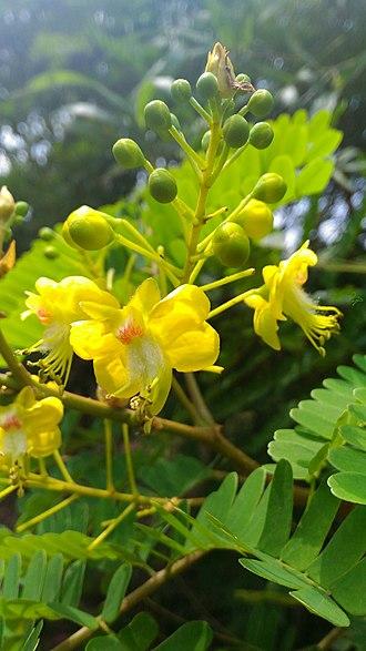 Biancaea sappan - Image: Biancaea sappan leaves flower buds