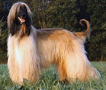 Afghan Hound - Simple English Wikipedia, the free encyclopedia