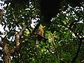 Bird White throated Brown Hornbill Anorrhinus austeni IMG 8142 06.jpg