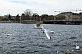 Birds around Lake Zurich.jpg