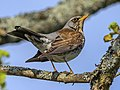 Birds of Sweden 2016 34.jpg