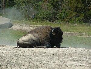 Yellowstone Park bison herd - Bison at Black Dragon Caldron