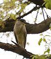 Black-Crowned Night Heron (34469919441).jpg