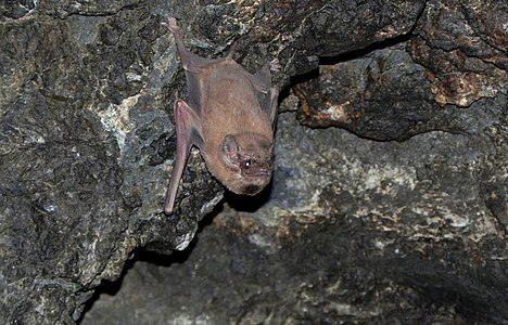 Black-bearded tomb bat (Taphozous melanopogon), male with prominent black beard.jpg