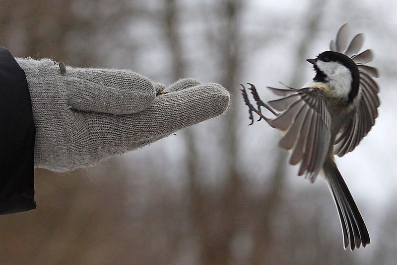 File:Black-capped Chickadee landing on hand.jpg