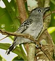 Black-crowned Antshrike.jpg