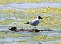 Black-headed gull (3510206038).jpg