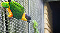 Black-headed parrot (Pionites melanocephalus) (7).jpg