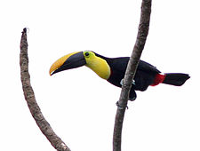 Black-mandibled Toucan.jpg