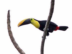 Black-mandibled Toucan.jpg