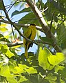 Black-naped Oriole (Oriolus chinensis) - Flickr - Lip Kee (3).jpg