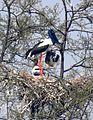 Black-necked Stork Ephippiorhynchus asiaticus by Dr. Raju Kasambe nest DSCN7259 (3).jpg