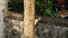 File:Black-rumped flameback TVM Video 1.webm