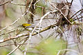 Black-throated green warbler (24377699454).jpg