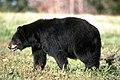 Black Bear (20261425192).jpg