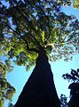 Black Ironwood tree - Cecilia indigenous forests - Cape Town 2.JPG