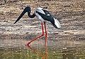 Black Necked Stork (7050720651).jpg