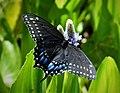 Black Swallowtail Papilio polyxenes asterius.jpg
