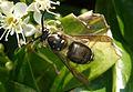 Black Wasp (45256826).jpg