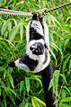 Black and white Ruffed Lemur (22955687861).jpg