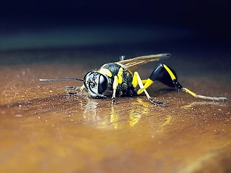 Mud dauber - Black and yellow Mud Dauber.