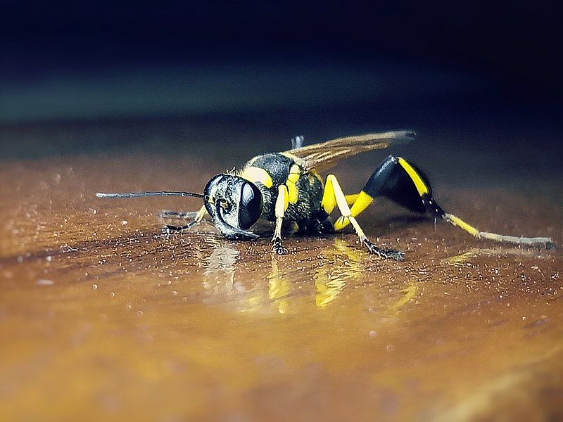 File:Black and yellow Mud dauber.jpg