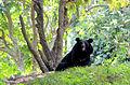 Black bear in Thiruvananthapuram Zoo.JPG