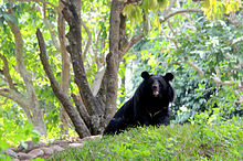 Black bear in Thiruvananthapuram Zoo
