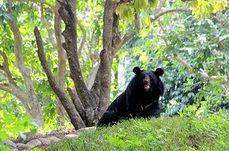 Thiruvananthapuram Zoo - Black bear in Thiruvananthapuram Zoo