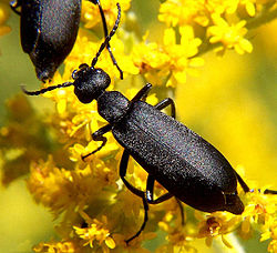 Black blister beetle, Epicauta pennsylvanica
