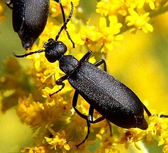 Blister beetle - Black blister beetle, Epicauta pennsylvanica (Meloinae: Epicautini)