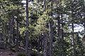 Black pines, Saimbeyli 01.jpg