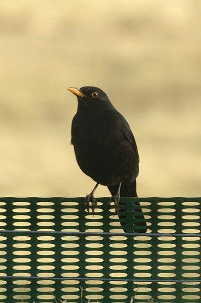 File:Blackbird (Turdus merula), Baltasound - geograph.org.uk - 1206037.jpg