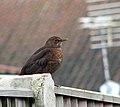 Blackbird perched on fence - geograph.org.uk - 1632333.jpg