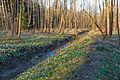Bledule jarní v PR Králova zahrada 63.jpg