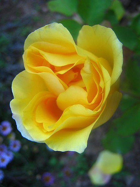File:Blooms of a yellow rose.jpg