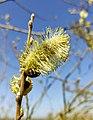 Blossom of willow.jpg
