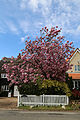 Blossoming tree and houses at north of village green at Matching Green, Essex, England.jpg