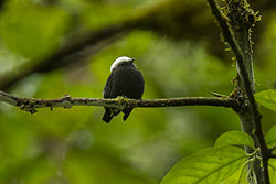 Blue-rumped Manakin - South Ecuador S4E1232 (16658666718).jpg